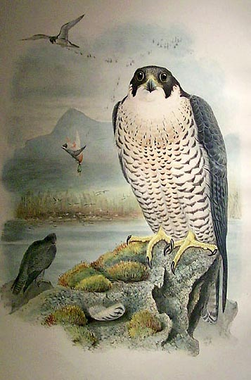 peregrinfalcongould[1].JPG